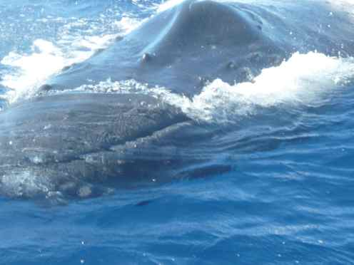 humpback whale swims across the water