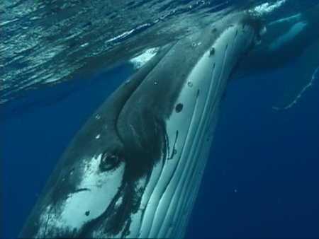 Humpback whale under the water
