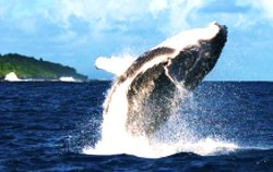 whale wacthing tonga